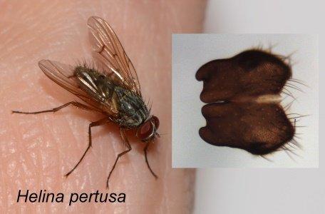 Helina-pertusa-m.jpg